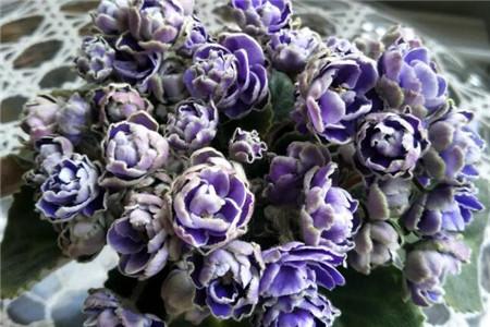 苦苣苔科花卉