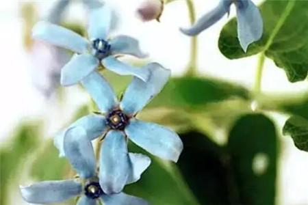 天蓝尖瓣木