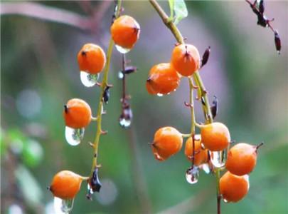 金露花的果实