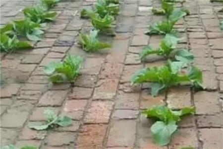 砖缝种白菜