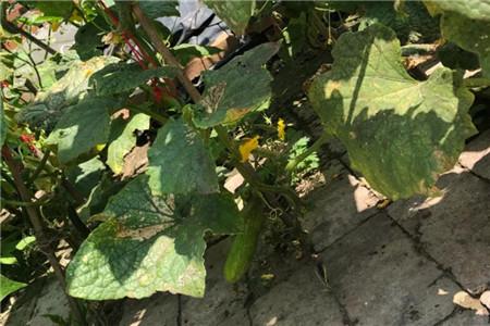 砖缝种茄子