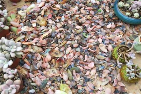 摘掉叶子的多肉