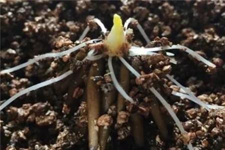 发芽的花毛茛种球