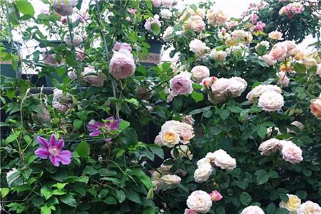 大风刮过后的花儿