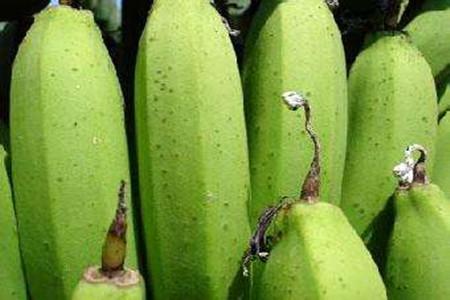 香蕉花蓟马