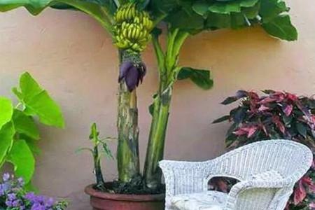 迷你矮香蕉