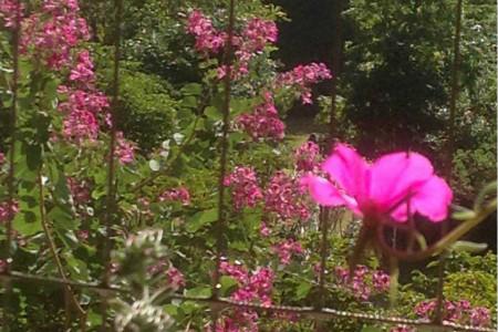 草本紫荆花