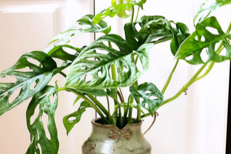 仙洞龟背竹