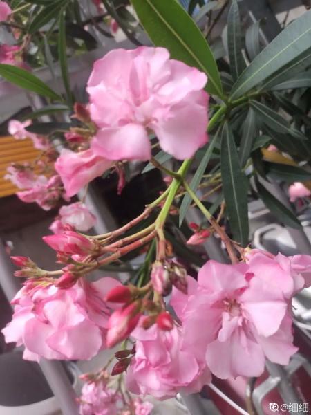 夹竹桃叶子