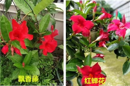 红蝉花和飘香藤