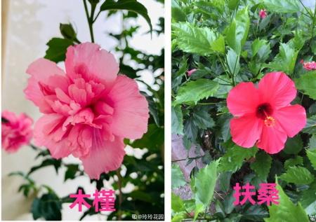 扶桑花和木槿花
