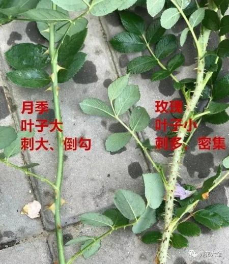 玫瑰和月季