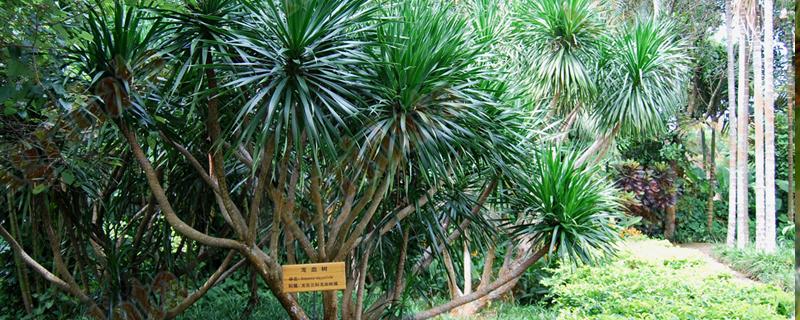 龙血树有哪些品种