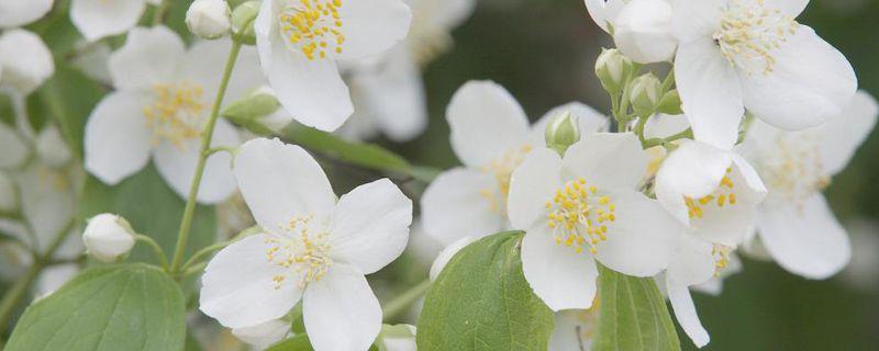茉莉花有哪些品种