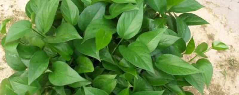 茶水能养绿萝吗