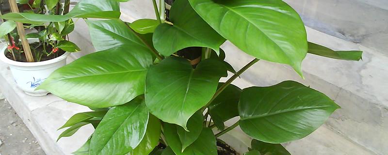 棕柱绿萝多久浇一次水