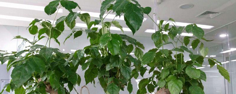 幸福树喜欢酸性土壤吗