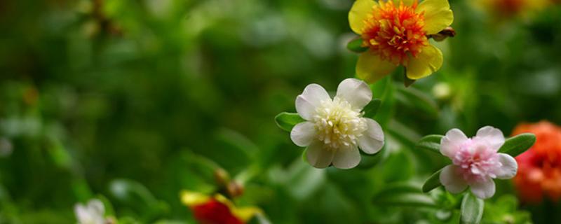 太阳花是向日葵吗