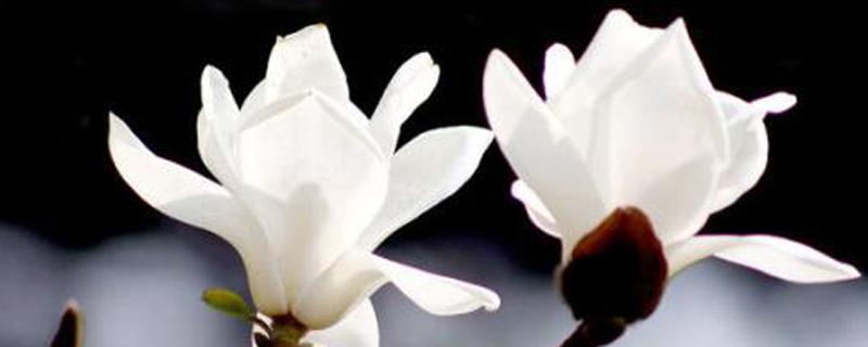 白玉兰花语