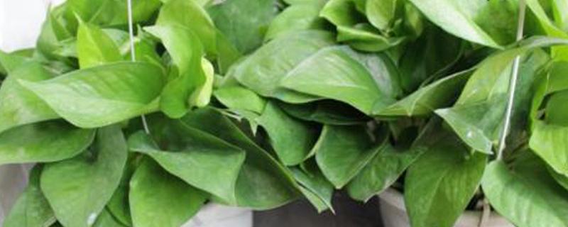 绿萝用什么施肥