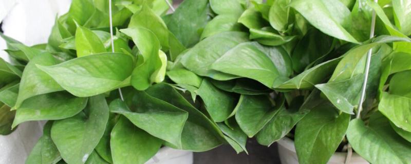 绿萝施肥方法