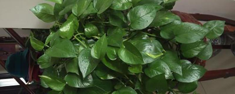 绿萝剪枝能直接种吗