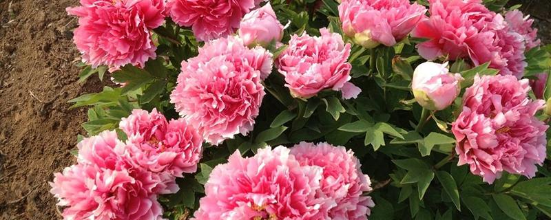 牡丹花开在什么季节