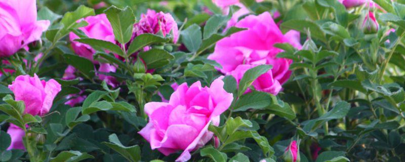 粉色玫瑰代表什么花语