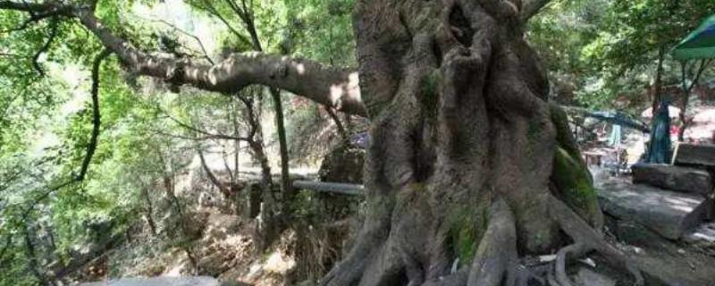 重庆市树是什么