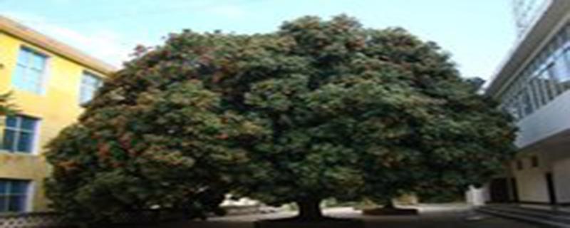 荔枝树怎么管理
