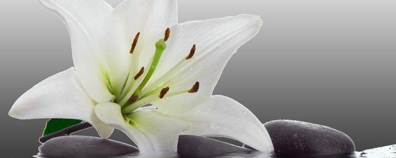 百合花品种