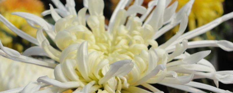 白菊花怎么晒干