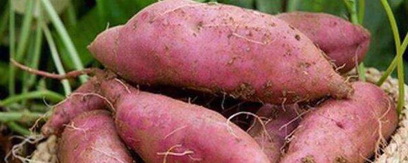 红薯会开花吗