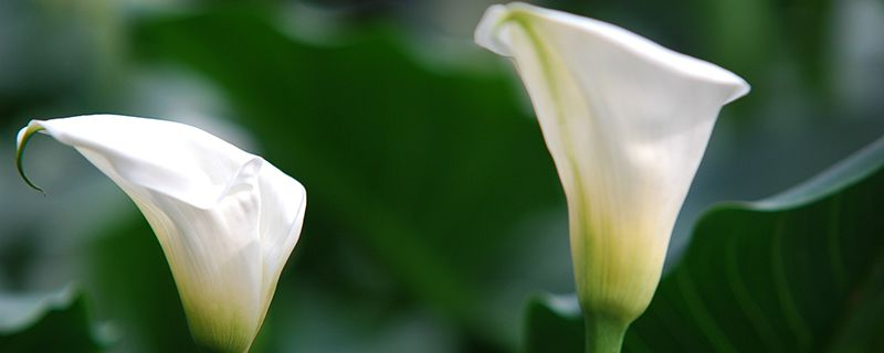 马蹄莲花语_白色马蹄莲花语 - 花百科