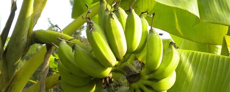 有关香蕉的资料