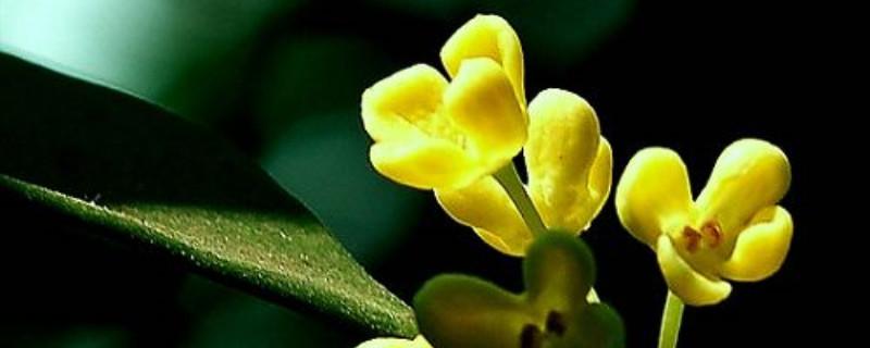 桂花喜欢阳光吗