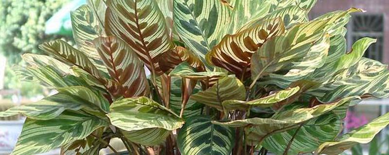 孔雀竹芋什么花盆好看