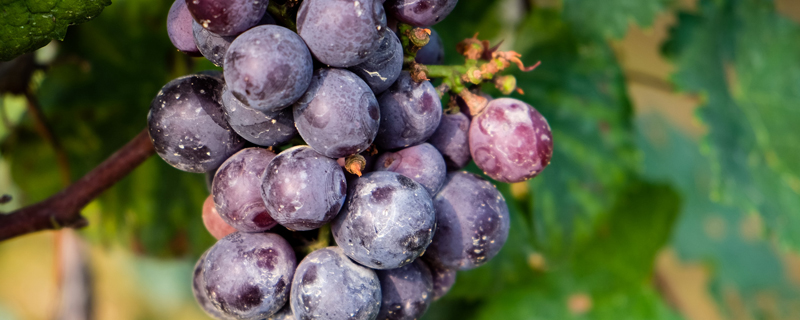 盆栽葡萄树用什么土