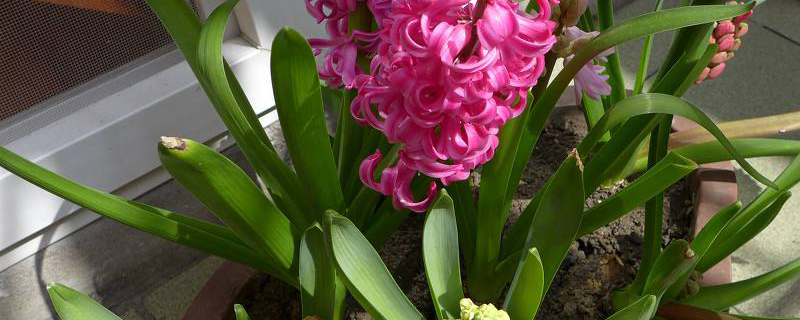 土培风信子种球的种植方法