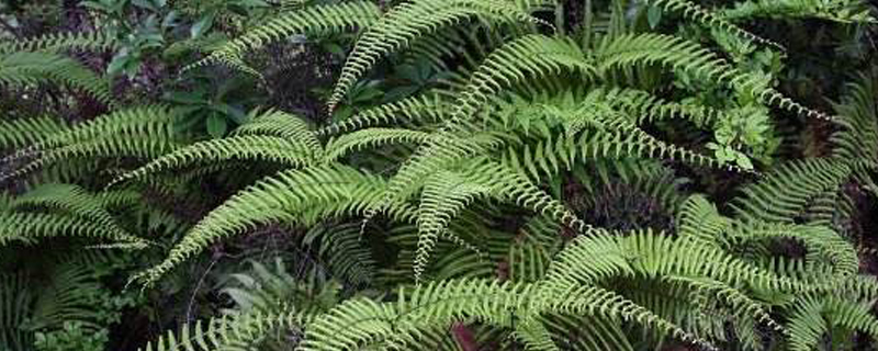 里白是什么植物