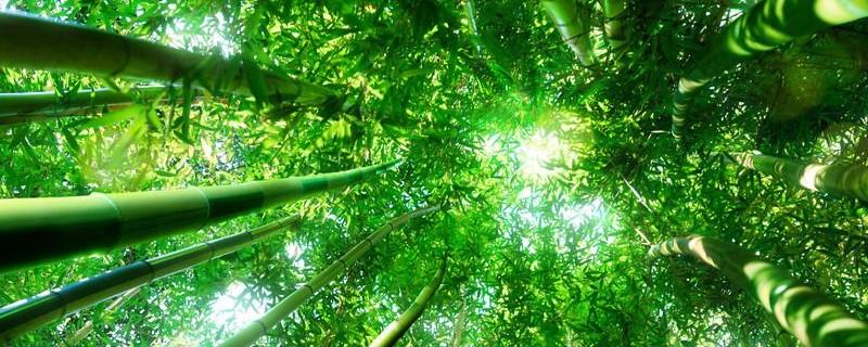 竹子插枝能活吗