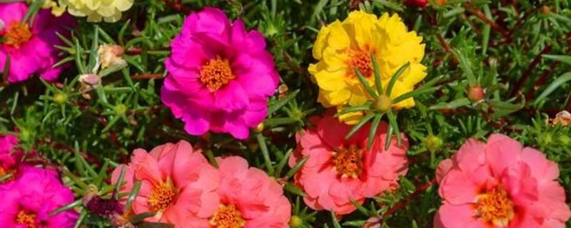 青岛太阳花_重瓣太阳花有种子吗 - 花百科