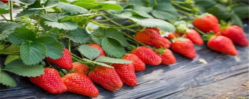 草莓结果期施什么肥