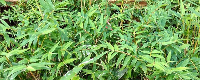 像竹子一样的盆栽叫什么