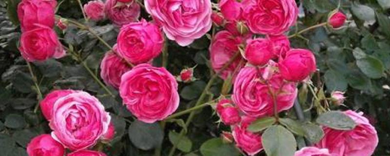 市面上的玫瑰是月季吗
