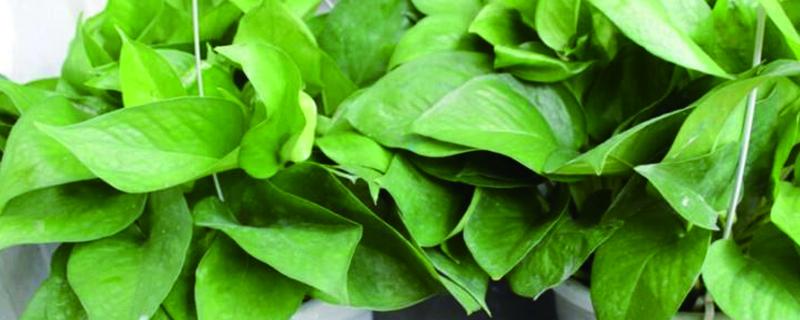 绿萝插秧种植方法