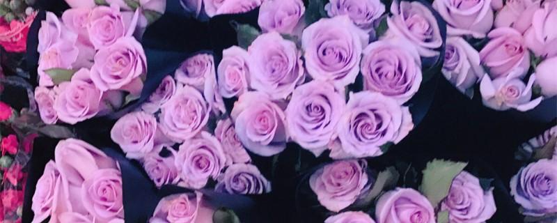 浅紫色玫瑰花叫什么