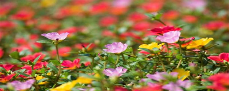 太阳花种子什么时候播种