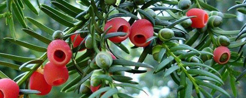 红豆杉怎样分公母