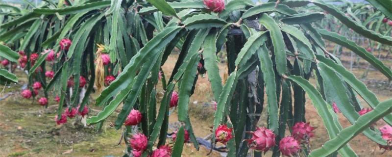 火龙果多久开花结果